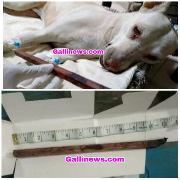 11 inch Stick Dog ke Private Part mai Insert kiya incident from Powai