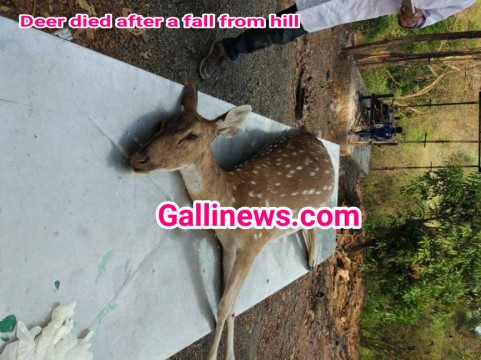Another Deer Died who Fall from Hill was Chased by langurs