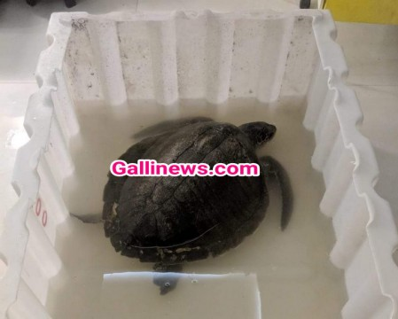 2 Olive Ridleys turtle rescued by RAWW from 2 diffrent location in Mumbai