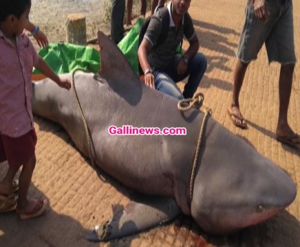 400kg ki Shark Fish phansi Macchi mar ki jaal main at Sindhudurg