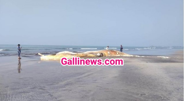 57 feet dead whale wash ashore at Murud Beach