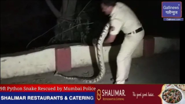 9ft lamba Python Found in BKC Police Ne Snake Ko Rescue kiya