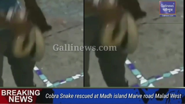 Cobra Snake rescued at Madh island Marve road Malad West
