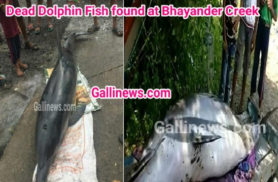 Dead Dolphin Fish Found At Bhayander Creek