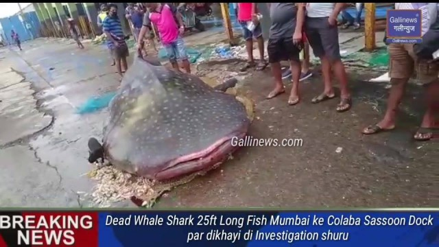Dead Whale Shark 25ft Long Fish Mumbai ke Colaba Sassoon Dock par dikhayi di Investigation shuru