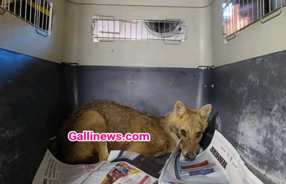 Dehydrated Golden Jackal ko Rescue kiya RAWW team ne from Navi Mumbai