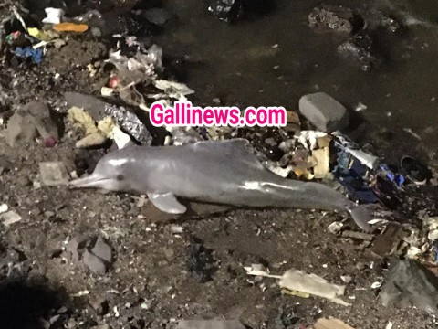 Dolphin Fish Found at Bandra Carter Road Sea face
