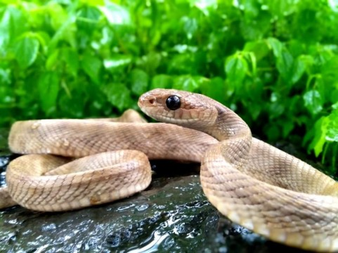 Forstens Cat Tree Snake Rescued from Water Purification Plant at Bhandup by RAWW