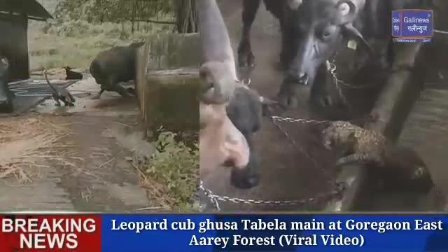 Leopard cub ghusa Tabela main at Goregaon East Aarey Forest Viral Video