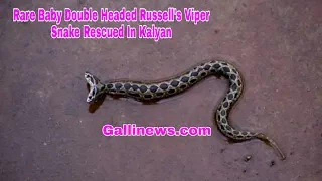 Rare Baby Double Headed Russells Viper Snake Rescued In Kalyan.