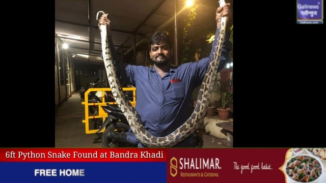 Snake Asdah Caught at Bandra Khadi