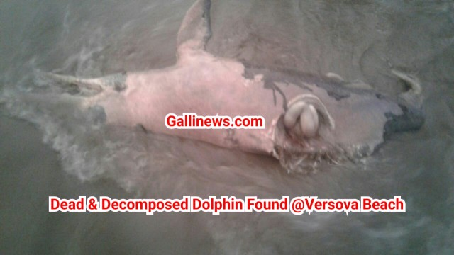 Versova Beach par Dead Decomposed Dolphin dikhai di