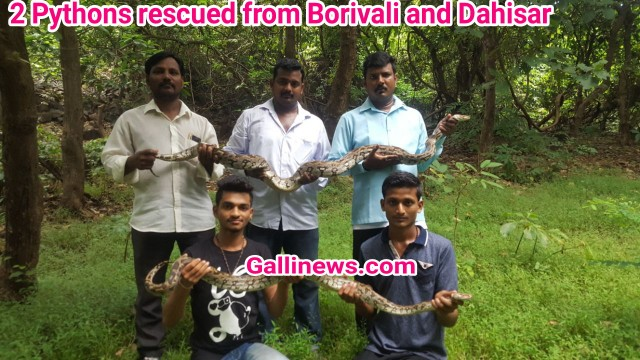 2 Python rescued from Borivali and Dahisar