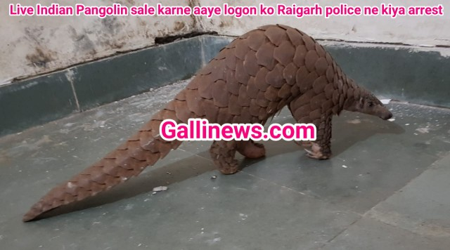 Live Indian Pangolin sale karne aaye logon ko raigarh police ne kiya arrest