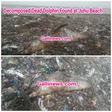 Decomposed Dead Dolphin Found at Juhu Beach