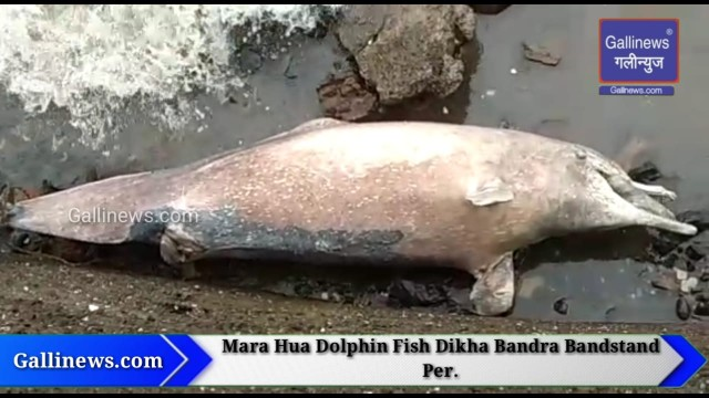 Dead Dolphin Fish Found At Bandra BandStand