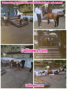 3 Horse Seized by Marine Drive Police Station 2 Ghode  wale Arrested