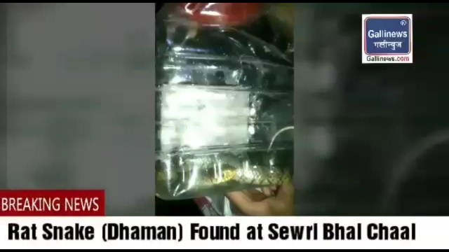 Rat Snake found at Sewri Bhai Chaal